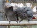 They are 1 year old and will come with huge cage parrot play stand food and water dishes food an