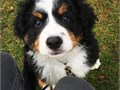 I currently have male and female Bernese mountain available full blood Bernese mountain dog puppies