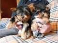 Yorkshire Terrier Male Female  30000 text us on 240-257-8923 Teacup Yorkie Puppies For SaleMy