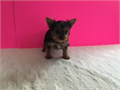 Yorkshire Terrier Pocket CKC Female   140000