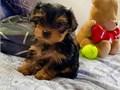 Beautiful Teacup Yorkie puppies 12 weeks old looking for a loving home We hav