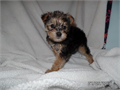 Very outgoing Yorkie pups  I have 1 male and 1 female they are 35000 each  Born in May  Very fr