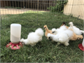 Silkie Chicks  2weeks old unsex 10 unsex 3months chicks 20 unsex 8-9month Proven Hens a