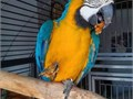 Both male and female Macaw parrots available for a new home They speak and also learn very fast Re