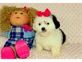 Baby doll face toy female blackwhite color Poodle Maltese mix Has been dewormed groomed shots