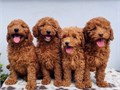 GOLDEN DOODLES PUPPIES FOR SALE SHOTS AND DEWORMED MINI GOLDEN DOODLES PUPPIES FOR SALE TEL90989