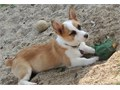 Corgi baby girl12 weeks Has first shotsFriendly and good with other dogs and cats