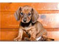 1 male smooth hair light Brown 700  Parents AKC register  First shot and deworming  ready to go b