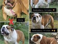 English bulldog puppies for sale Rembombary Champion Spaniard Bloodline Males