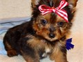 Beautiful Yorkie boy and girl puppies ready to find good loving homeText or call 757 405-7418