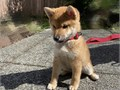 Beautiful shiba inu for new homes we still have available 3 puppies left from a latter of 6 They ar