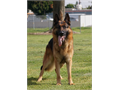 German Shepherd 5X SG1 Maximus Von Der Brewskis is available for stud service only Max is a large m