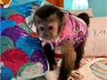 Buy Capuchin Monkeys and marmosetThey love being the center of attention so theyll do everythin