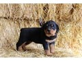 These are outstanding AKC registered male and female Rottweiler are on schedule with their puppy vac