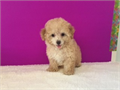 Sydney- Teddy bear fluffy  gold color Maltipoo female ready to goUp to date on shots and deworm