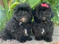 Shihpoo Puppies Shih-TzuPoodle Mix 1 Male 1 Female 9 weeks old Puppies are