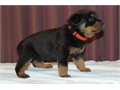 Rottweiler puppies for sale born on Christmas Day 4 males 6 females excellent markings all blac