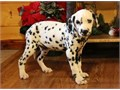 Quality Dalmatian Puppies readyBoth male and females vet and health check and up to date on shot