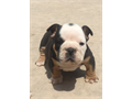 AKC English Bulldog puppies 1 male and 1 female Triple carrier black tri very short and compact Th