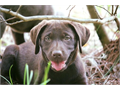 AKC Silver Factored Chocolate Lab puppies born 71417 Mom is a beautiful Silver Factored Chocolate