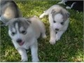 Huskies appealing to many people and their even temperament love of other dogs and indifference to