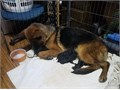 High Quality AKC German shepherds  Excellent pedigree great for work or show