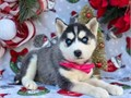 Blue Eyes Siberian Huskys We have healthy Good looking size Puppies For Sale T