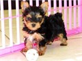Tiny yorkie puppies Tiny yorkie puppies male and female Tiny yorkie puppies for sale for more in