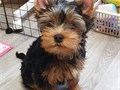 Our beautiful Yorkie puppies just turned 12 weeks and are now ready to meet thei