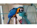I have a pair of Macaw parrots ready for a new home They are tamed friendly hand-fed and vaccinat