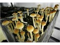 Top quality mushrooms for good healthFor  more information text at 657 567 2613