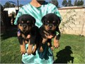 malefemale Rottweiler puppy just 14 weeks old with docked tail and dew claws done Very smart and l