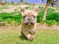 Handsome Male Blue Fawn French Bulldog Puppy named King DOB 1-12-17 Perfect cobby body short ear