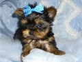 we have adorable and loving Yorkie puppies If you are interested in adopting the puppies please ma