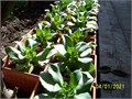 Kalanchoe plant also known as Mother of Thousands Drought resistant Avoid direct sun Beautiful p