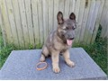 Gorgeous AKC registered Blue Sable German Shepherd puppies Males and females available