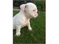 Gorgeous simply gorgeous puppiesSuper healthy and full of energyshots and dewormedAKCSmall