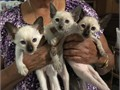 Sweet loving home-raised Siamese wedgie style CFA limited registration male and female kittens a