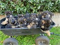 4 male and 4 female AKC German Shepherd puppies Mostly black now but will becom