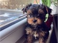 They are 12 weeks old Yorkie puppies to give it out for sale My cute Yorkie puppies are ready to g