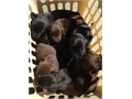 Beautiful AKC Registered Lab Puppies 60000 chocolate  black will be ready end of October dewor