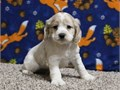 cocker spanier puppies  very sweet and loving temperamentTexts only at601 885-3203