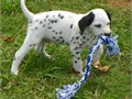 Dalmatian Puppies for Sale Puppies are family raised in our home and come vet c
