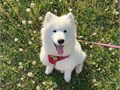 Healthy samoyed puppies for Adoption check our website here marvelcutepuppyscom