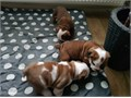 Ready now stunning Kc Registered Puppies with 5 weeks free insurance vet checked