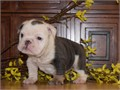 Gorgeous English bulldog puppies for sale We have both males and females bulldog puppies ready to g