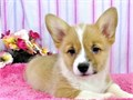 Pembroke Welsh Corgi Puppiesregistered with a 2 generation on paper but has a 5 generation bloodli