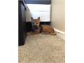 Shiba Inu Puppy For Sale 15 Weeks - Has All Shots  Records NeededShes A Good Girl Just Cannot