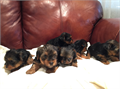 Tails Docked Family Owned Yorkie Puppies Available November Will have shots up-to-date