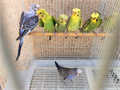 Crested Parakeets Young and Beautiful 40 4000 818-667-2063